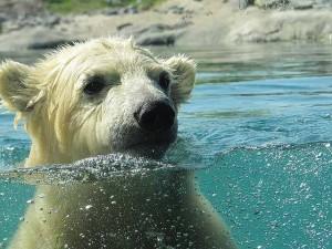 polar-bear-591646_640